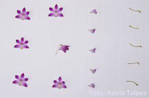 Orhidee_la presat
