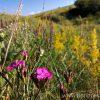 Florile de câmp ale verii